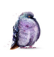 pigeon bird isolated watercolor colorful vector image vector image