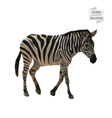 Zebra polygon vector image