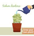 hand watering sedum hintonii plant vector image vector image