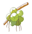 unripe organic coconut icon tropical sweet vector image vector image