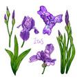 violet iris flower set vector image