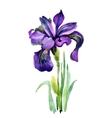 Watercolor garden Iris flowers isolated on white vector image