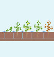 cotton growing and watering vector image vector image