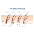 Hair growth cycle vector image