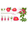 set red flowers of rose with leaves in realistic vector image vector image
