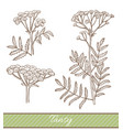 tansy in hand drawn style vector image vector image