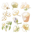 cotton plant set vector image vector image
