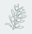 olive sketch branch over white background with vector image