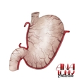 Watercolor anatomy collection - stomach vector image
