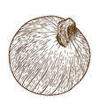 engraving one onion vector image vector image