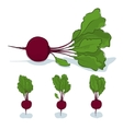 Beet root vegetable on a white background vector image vector image