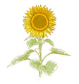 hand-drawing sunflower vector image vector image