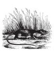 spiny rat vintage vector image vector image