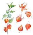 Watercolor physalis flower vector image