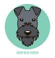 portrait kerry blue terrier vector image vector image