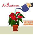 hand watering anthurium plant vector image vector image