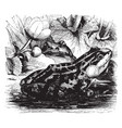 edible frog vintage vector image vector image