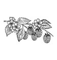 raspberries branch engraving vector image vector image