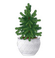 office fir tree growing in ceramic pot in vintage vector image vector image