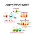 adaptive immune system from antigen presentation vector image vector image
