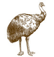 engraving of emu ostrich vector image vector image