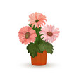houseplant gerbera flowers in pot isolated vector image vector image