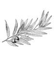 california laurel vintage vector image vector image