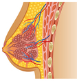 Cartoon of female breast anatomy vector image