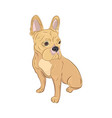 french bulldog looking sideways purebred canine vector image vector image