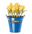 crocuses blooming in bucket vector image vector image