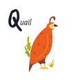 funny image a quail and letter q zoo alphabet vector image vector image