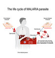 life cycle of a malaria parasite vector image