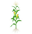 maize plant isolated on white background vector image vector image