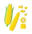 corn ear ripe corn cobs corn seeds grains vector image