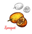 kumquat fruit design vector image vector image