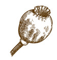 engraving of big poppy pod vector image vector image