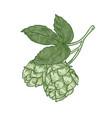 natural drawing of green fresh organic hop sprig vector image vector image