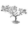 juniper in barren soil form vintage vector image vector image