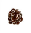 pine cone on white background christmas decoration vector image