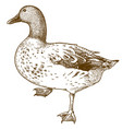 engraving drawing of duck bird vector image vector image