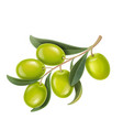 realistic green olives branch vector image vector image