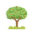 apple tree apple harvest on a vector image vector image
