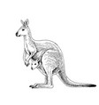 hand drawn australian kangaroo vector image
