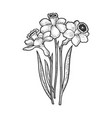 narcissus flower sketch vector image