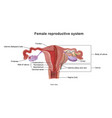 the female reproductive system vector image vector image