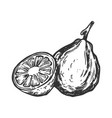 bergamot orange engraving vector image vector image