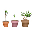 Yucca Tree and Dracaena Plant in Ceramic Pots vector image vector image