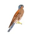 Kestrel predatory bird vector image vector image