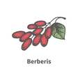 hand-drawn bunch of ripened red barberry vector image vector image