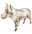 engraving drawing of common warthog vector image